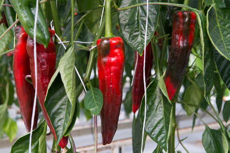 Tasty organic sweet paprika plants growth in big Dutch greenhouse, everyday harvest Stock Photo