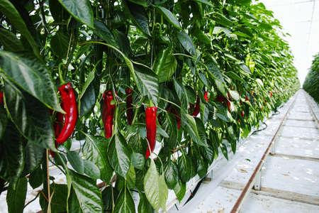 Sabrosas plantas de paprika dulce orgánica crecen en gran invernadero holandés, cosecha cotidiana Foto de archivo - 76588036