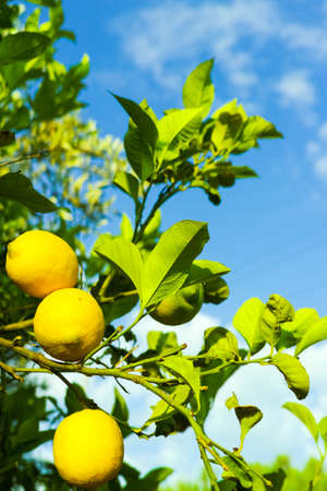 vitamin rich: Ripe yellow Sicilian lemons on lemon trees, lemon plantations, ready to harvest Stock Photo