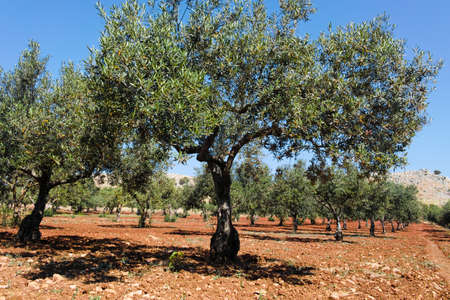 agrarian: Olive trees in a row on plantation, Sicily, Italy