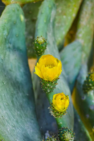 Blossom edible prickly pears (Opuntia ficus-indica) cactus plants, Sicily, Italy