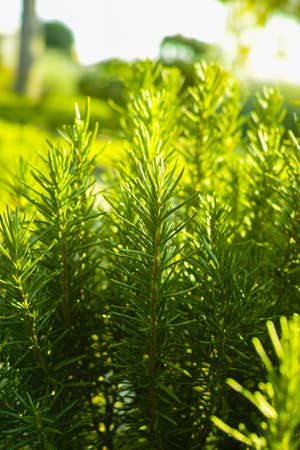 庭のローズマリー (ローズマリー) 木質の多年生草本植物 写真素材