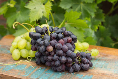 pinot: Healthy fruits Red and White wine grapes in the vineyard, dark grapes blue grapeswine grapes,  bunch of grapes on the wooden table ready to eat, sunny day outside