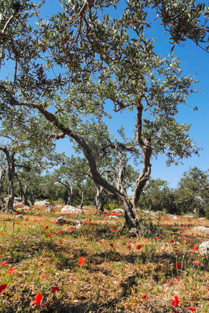 agrarian: Big and old ancient olive tree in the olive garden in Mediterranean with stones and poppy flowers Stock Photo
