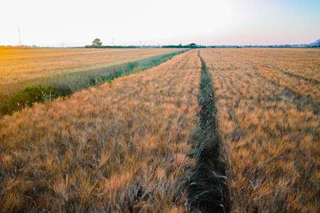yellow fields with organic ripe hard wheat, grano duro, Sicily, Italy