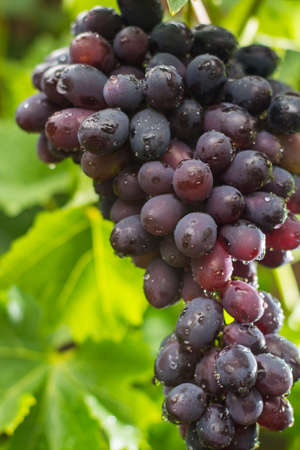 pinot: Healthy fruits Red wine grapes riping in the vineyard, dark grapes blue grapeswine grapes,   grapes plant, ready to harvest