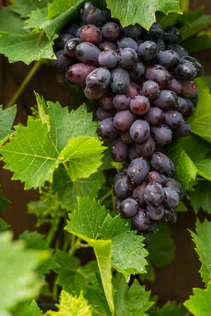 pinot: Healthy fruits Red wine grapes  ripening in the vineyard, dark grapes blue grapeswine grapes,   grapes plant, ready to harvest Stock Photo
