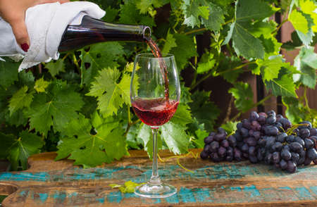 Waiter pouring a glass of red wine, outdoor terrace, wine tasting in sunny day, green vineyard garden and red grape
