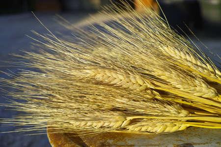 Ripe hard wheat ears, grano duro, Sicily, Italy, used for bread and pasta