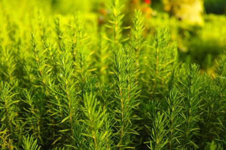 庭のローズマリー (ローズマリー) 木質の多年生草本植物