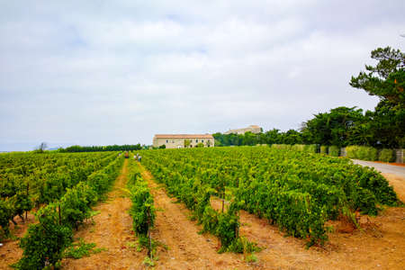 domain: Vineyard in Domaine de Maguelone near Montpellier, South France, red wine grape plantation