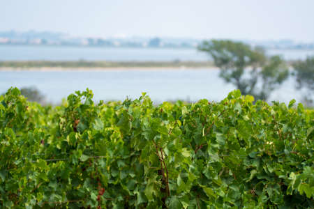 モンペリエの近くのドメイン・デ・ Maguelone のブドウ園, 南フランス, 赤ワイングレーププランテーション 写真素材