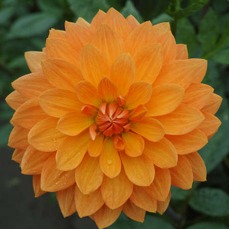 Salmon orange dahlia flower on the plant, Beautiful bouquet or decoration from the garden Stock Photo
