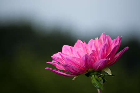 Pink rose dahlia flower on the plant, beatyful bouquet or decoration from the garden