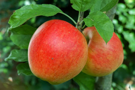 Big red ripe apples on the apple tree, ready to harvest, seasonal works in orchard, fruit garden