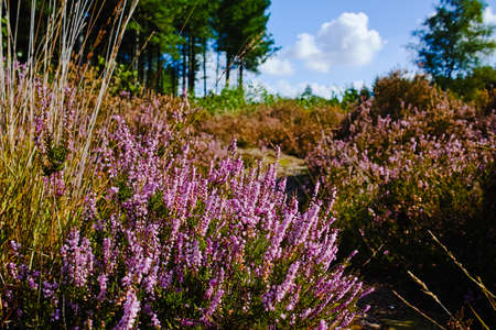 Heather moorland in Kempen forests, North Brabant, the Netherlands, autumn days
