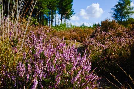 Heide heide in Kempen bossen, Noord-Brabant, Nederland, herfstdagen