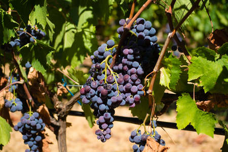 Red wine grapes from the hill in France, ripe on the vines and ready to harvest and wine production