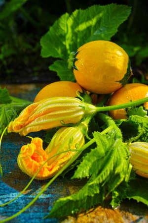 Round yellow zucchini and zucchini flowers fresh in the garden round yellow zucchini and zucchini flowers fresh in the garden new harvest ready mightylinksfo