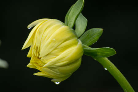 Yellow dahlia flower on the plant, beatyful bouquet or decoration from the garden Stock Photo