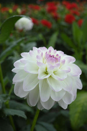 White dahlia flower on the plant, beautiful bouquet or decoration from the garden Stock Photo