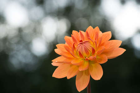 Salmon orange dahlia flower on the plant, beatyful bouquet or decoration from the garden