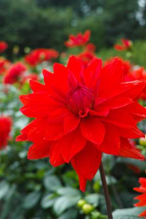 Red dahlia flower on the plant, Beautiful bouquet or decoration from the garden