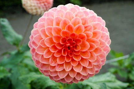 Pink rose dahlia flower on the plant, Beautiful bouquet or decoration from the garden Stock Photo