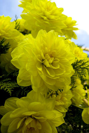 Yellow dahlia flower on the plant, Beautiful bouquet or decoration from the garden