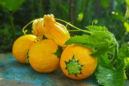 Round yellow zucchini and zucchini flowers, fresh in the garden, new harvest, ready to cook