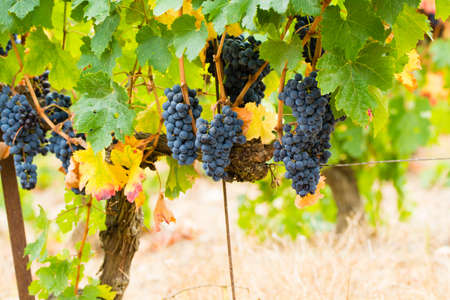 Ripe red wine grape ready to harvest, South France Stock Photo