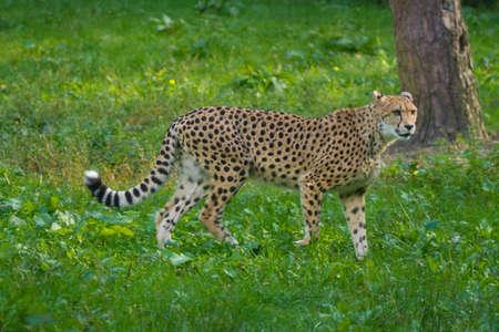 Rode lijst dier - cheetah of cheeta, snelste landdier, grote felid van de onderfamilie Felinae die op het gras loopt