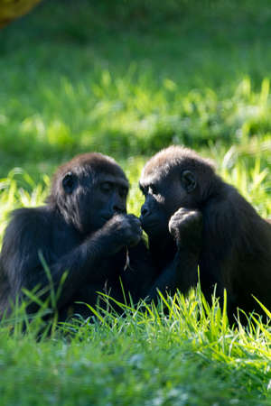 Two big black gorillas monkey sits on the grass, sunny day