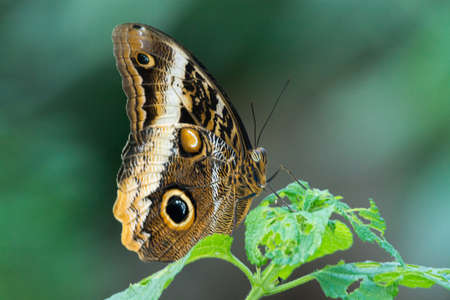background: Beautiful owl butterfly  close up copy space
