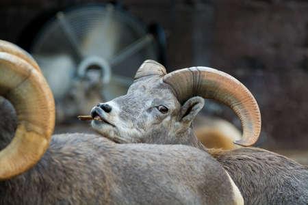 Mountain animals - bighorn sheep, close up