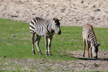 savannas: Black-white zebras, horse family animal, lives in grasslands, savannas, woodlands, thorny scrublands, mountains, and coastal hills