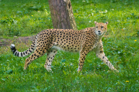 Red list animal - cheetah or cheeta, fastest land animal, large felid of the subfamily Felinae walking on the grass