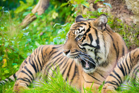 Tiger (Panthera tigris) is the largest wildcat species, most recognizable for their pattern of dark vertical stripes on reddish-orange fur with a lighter underside on the grass.