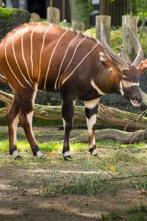 Mooi dier - grote oostelijke bongo antilope, uiterst zeldzaam dier dat alleen in Kenia vertrekt. Stockfoto