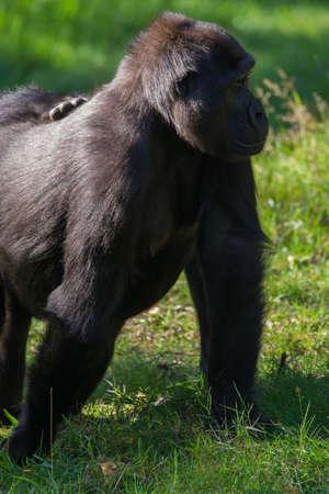 Big black gorilla monkey sits on the grass, sunny day