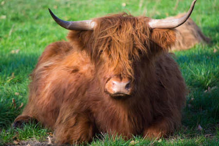Big hairy brown yak bull resting on green meadow close up