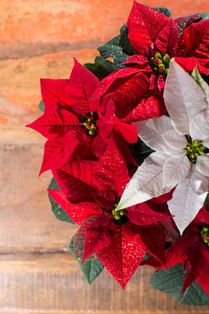 christmas star red and white poinsettia flowers christmas decoration close up stock photo 90146149 - Poinsettia Christmas Decorations