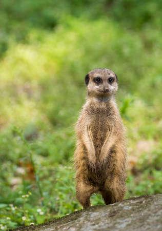 meerkat or suricate (Suricata suricatta) small carnivoran belonging to the mongoose family (Herpestidae) watching around. Stock Photo