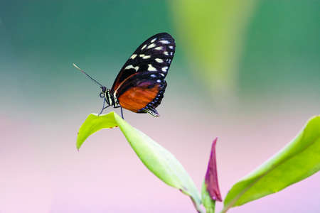 Beautiful black red tiger longwing butterfly sitting on the plant