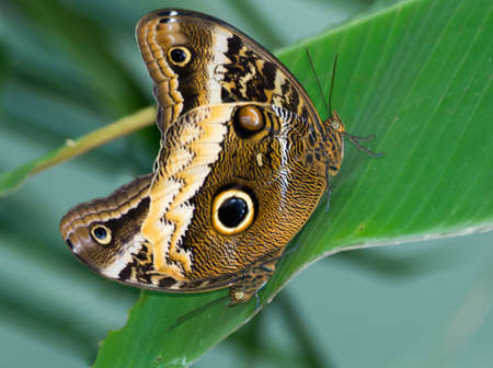 Beautiful owl butterfly  close up copy space