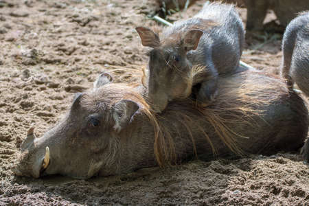 Big warthog wild pig, lives in Africa, wild animal close up Stock Photo