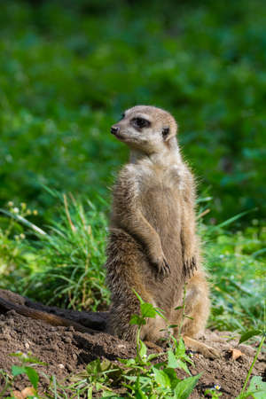meerkat or suricate (Suricata suricatta) small carnivoran belonging to the mongoose family (Herpestidae) watching around. Stock Photo