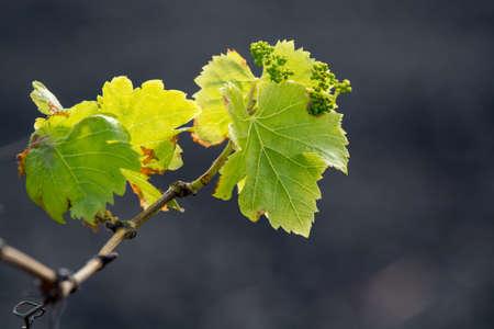 Lanzarote vineyards build on lava, La Geria wine region, malvasia grape vine in winter