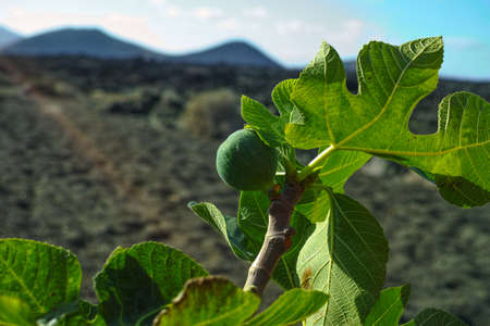 Vegetation on lava rocks, fig fruits riping on fig tree in winter, Timanfaya national park, Lanzarote, Canary Islands, Spain