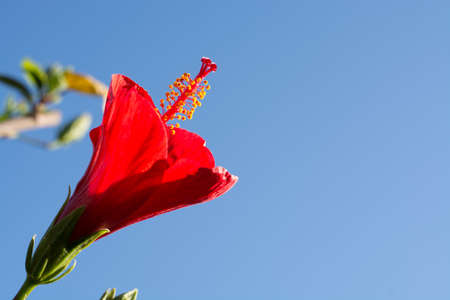Beautiful hibiscus flower in the tree blossoming in the garden, close up, copy space